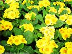Blumen: Gelbe Primeln (Geschenk)