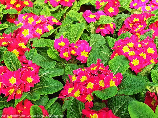 Blumen: rote Primeln zum Muttertag