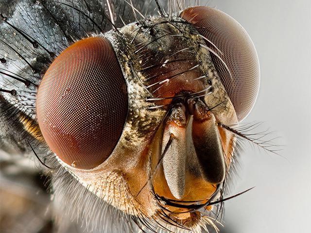 Facettenauge einer Fliege (scharfes Foto)